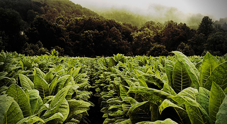 Основные виды, сорта и типы табака для трубки